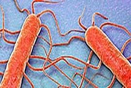 Listeria monocytogenes & Listeria spp.